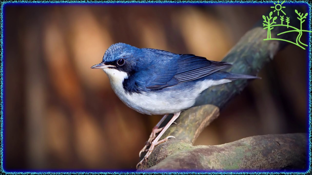Голоса птиц Как поёт Соловей синий (Luscinia cyane)