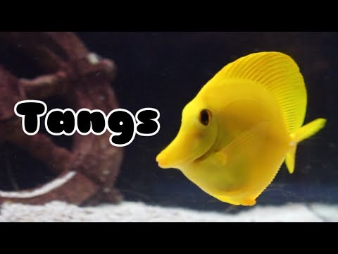 Tangs: Species, Compatibility, And More | Tank Tips #5