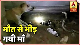Namste Bharat: Video Shows Fierce Fight Between Cobra And A Dog Saving Her Puppies | ABP News