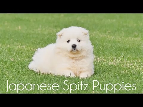 Japanese Spitz Puppies 26.4.17