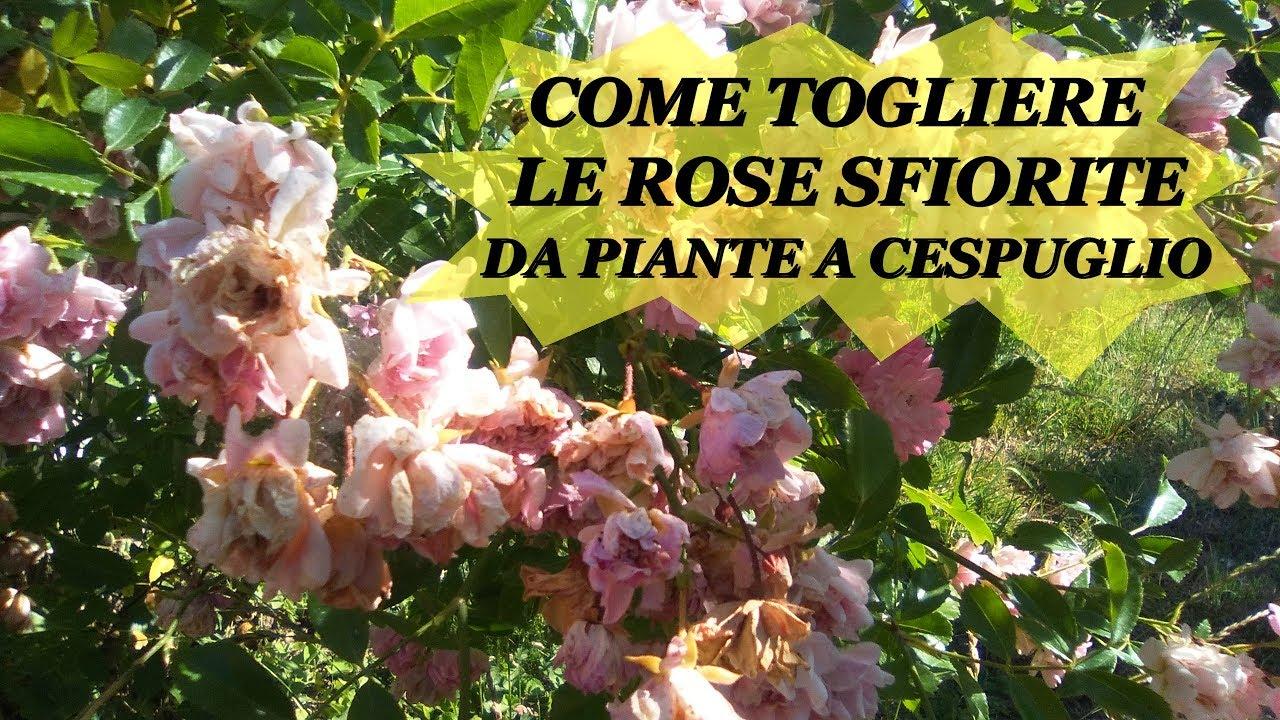 Rose Da Taglio Rifiorenti come togliere le rose sfiorite della pianta a cespuglio