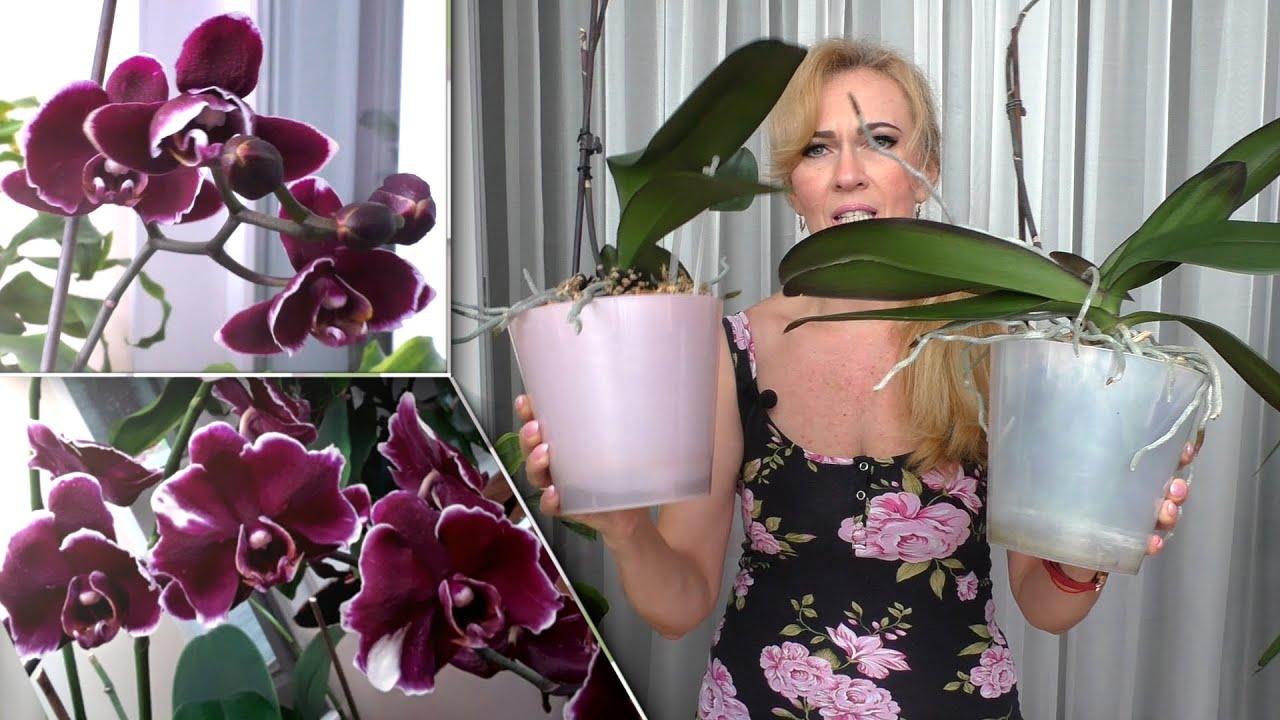 Мои орхидеи Каменные розы. Разное цветение.