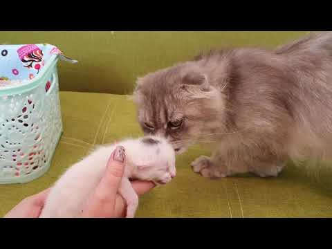 Will a domestic cat accept an abandoned kitten? Rescue a little life goes on