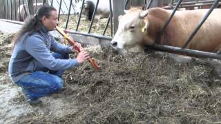 Michael Telapary plays his Native Flute for a cow