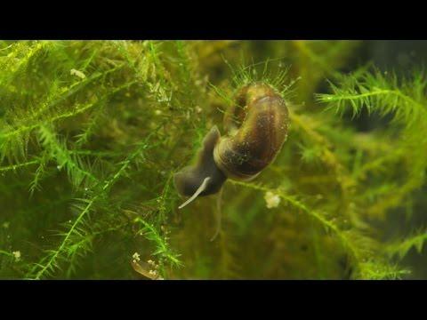 Planorbarius corneus / Junge Posthornschnecken / Young Ramshorn Snails