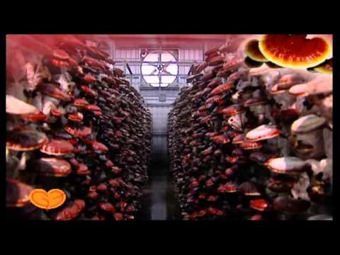 Kỹ thuật trồng nấm linh chi đỏ đạt chất lượng cao