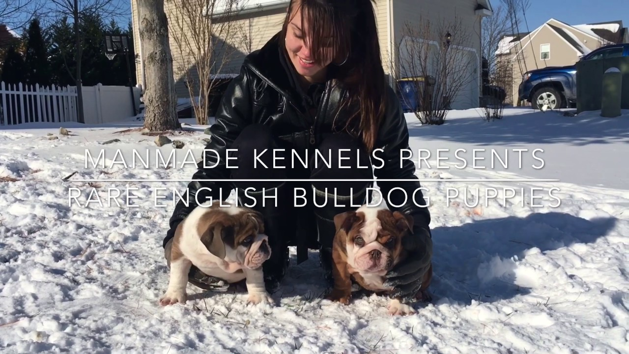 Pitbull Puppies For Sale - Manmade Kennels XL Pit Bulls