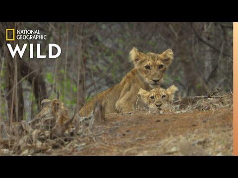 Asiatic Lions In Peril | Nat Geo Wild