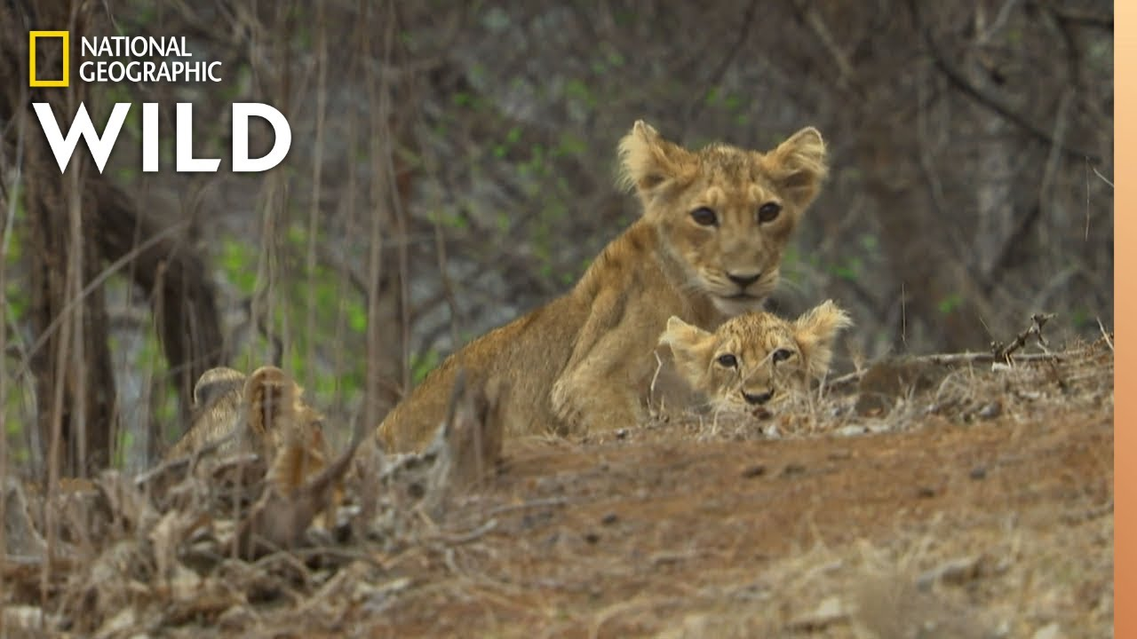 Asiatic Lions in Peril | Nat Geo WILD