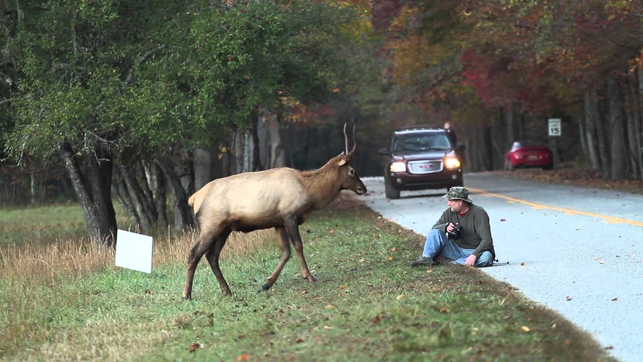 elk vs photographer great smoky mountains national park youtube