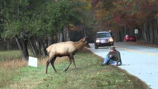 Elk vs. Photographer | Great Smoky Mountains National Park thumbnail
