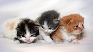 Cutest Kittens Ever  Cute Ragamuffin Kittens Compilation