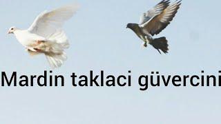 Gambar cover Mardin Taklacı Güvercini  algeria