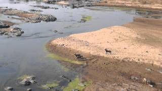 huge crocodile steals the prey an impala to 4 african wild dogs
