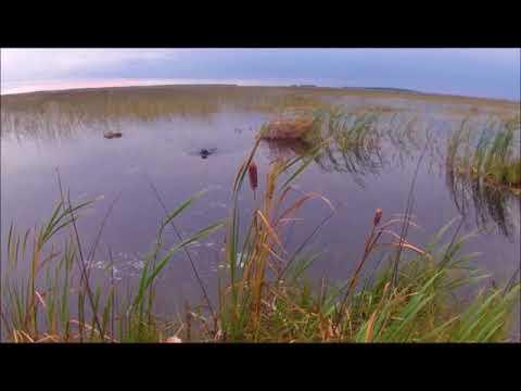 Sept 17th Duck Hunt in wild rice.  Mallards Bluebills Ringers Cans
