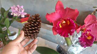 Coloquei pinho nas orquídeas e veja que incrível