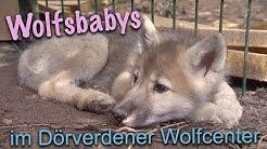 Von Hand aufgezogen: Wolfswelpen im Wolfcenter Dörverden