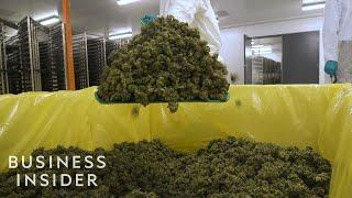 What It's Like Inside A Canadian Marijuana Greenhouse