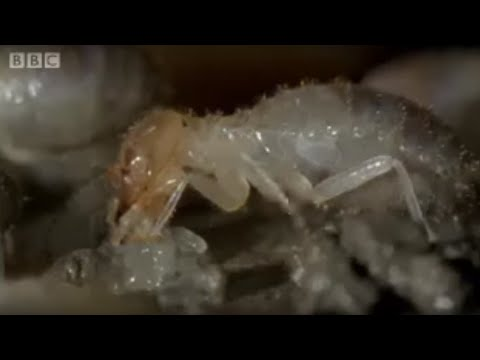 Termite World - Life in the Undergrowth - BBC Attenborough