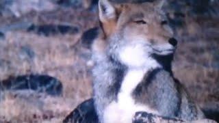 【捕食】 チベットスナギツネがナキウサギを巣穴から引きずりだし捕食す...