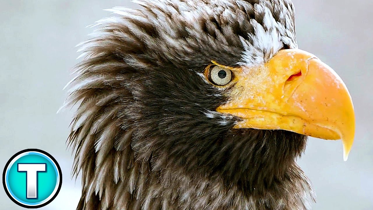 The World S Biggest Eagle Youtube