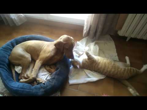 Malko the Vizsla with his buddy the cat