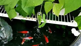 Growing Beans and Tomatoes in Aquaponics