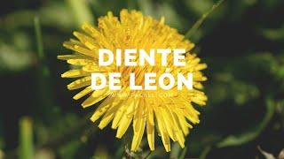 Diente de León - Pacalli la Casa de las Hierbas