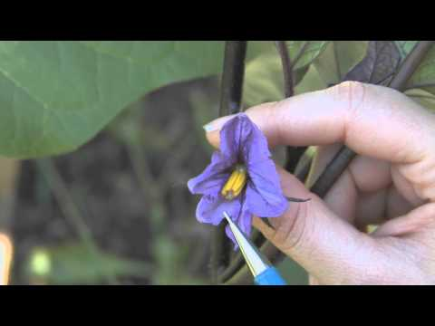 How to Care for Eggplant