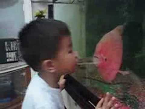 Giant pink spotty gourami fish loves to kiss youtube for Pink kissing fish
