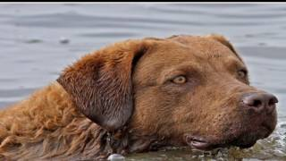 Protect your Chesapeake Bay Retriever from Ticks http://www.petbuck...