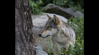 International Wolf Center - Webcams