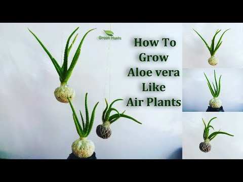 how to grow aloe vera like air plants aloe vera growing in your own style green plants. Black Bedroom Furniture Sets. Home Design Ideas