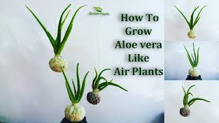 How To Grow Aloe vera Like Air plants | Aloe vera Growing in Your Own Style // GREEN PLANTS