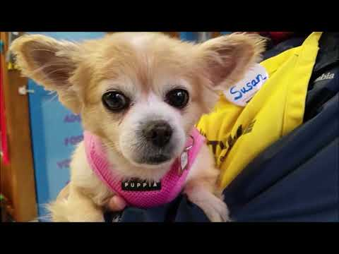 Beth, a female Pomeranian/ Papillon mix at Muttville-adopted!