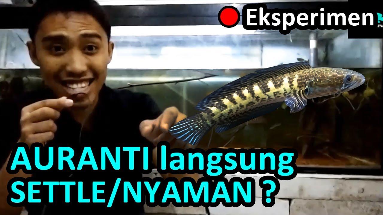 Channa Auranti Aurantimaculata 12 Inch Indian Fish Youtube