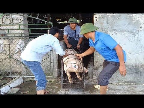 Bắt lợn bán cho dân buôn, giá lợn ở miền trung tăng vọt