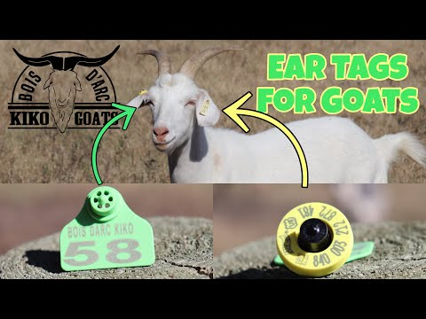 Ear Tags For Goats | Identifying Your Goats | Kiko Goats | Micro Chip Ear Tag