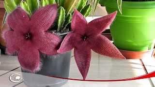 Desabrochar de uma Flor (StapelIa Hirsuta) Cacto Estrela Do Mar