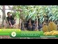 Bibit Durian Siap Berbuah