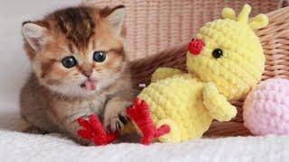 Kitten attacks the Chicken