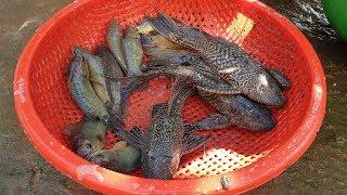Kéo đoạn mươn nước trong ruộng, thu cả thau cá - Khám phá vùng quê