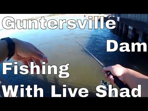Guntersville Dam Bass Fishing Using Live Baby Shad