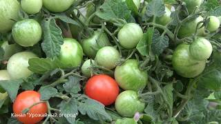 видео Удобрение борофоска: правила применения на огороде