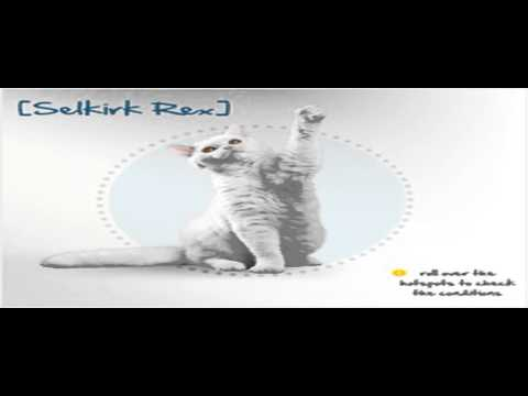 laperm cat breeders uk