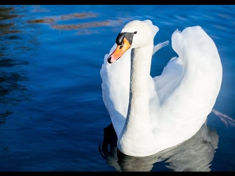 13 Amazing Facts About Swans