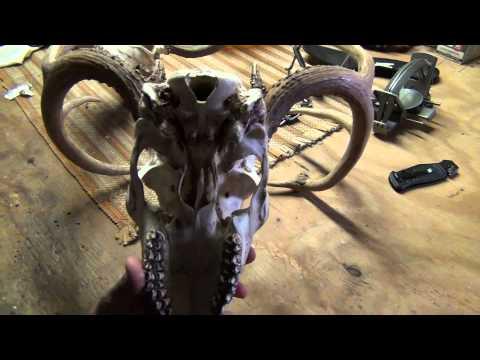 Whitetail Deer Skull Cleaning