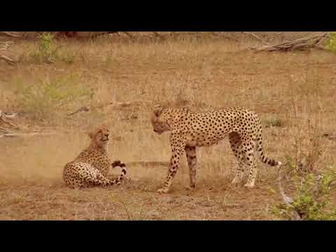 Big Cats' Fights And Hunt 1080p Most Amazing Animal Fights