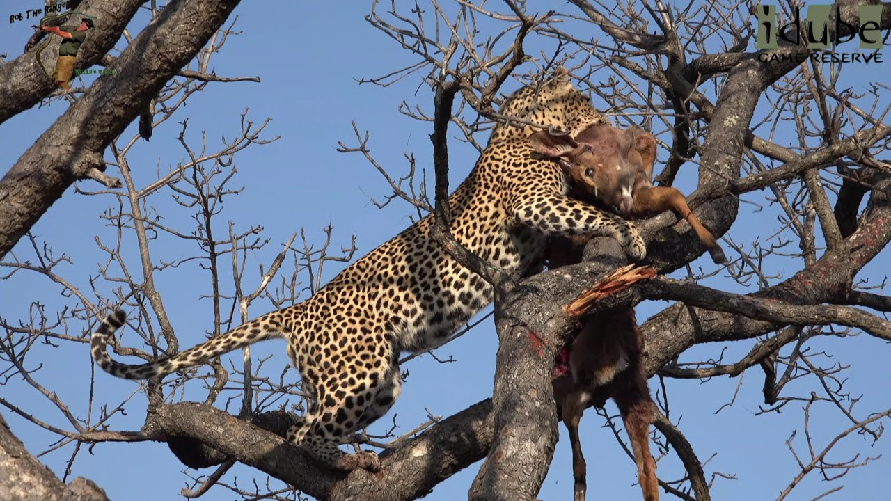 Male Leopard With Hoisted Meal In A Tree - YouTube