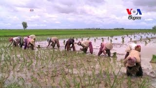 Pilot Project Using Software to Boost Rice Production Is Underway in Cambodia កម្មវិធីវិភាគដី ជីរ